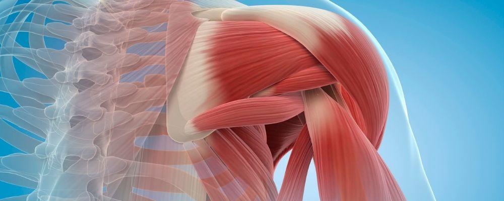 Spieren van een shouder